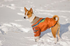 Retrato del perro lindo del basenji que lleva la capa rasgada en nieve fresca foto de archivo libre de regalías