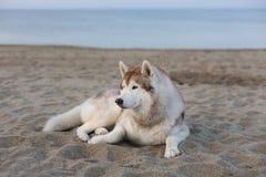 Retrato del perro lindo del husky siberiano que miente en frente de mar en la puesta del sol imagen de archivo