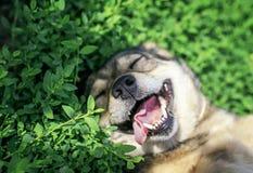 Retrato del perro lindo que miente en hierba verde en el prado soleado de la primavera divertido pegándose hacia fuera la lengua  foto de archivo