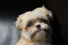 Retrato del perro maltés de Yorkshire Imagenes de archivo