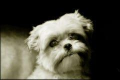 Retrato del perro maltés de Yorkshire Foto de archivo
