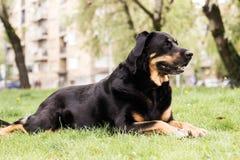 Retrato del perro mezclado de la casta imagen de archivo