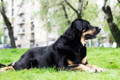 Retrato del perro mezclado de la casta fotografía de archivo libre de regalías