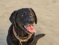 Retrato del perro negro de Labrador en la playa Foto de archivo