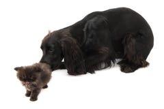 Retrato del perro negro joven de cocker spaniel y de un gato persa del perrito Fotografía de archivo libre de regalías