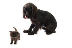 Retrato del perro negro joven de cocker spaniel y de un gato persa del perrito Imagen de archivo