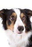 Retrato del perro pastor foto de archivo