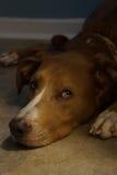 Retrato del perro que miente en piso en luz suave baja Fotografía de archivo