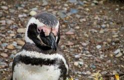 Retrato del pingüino Fotos de archivo