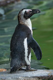 Retrato del pingüino africano divertido en el cierre para arriba Imagen de archivo