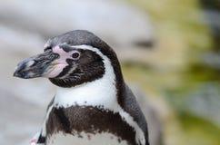 Retrato del pingüino de Humbolt Fotos de archivo