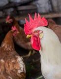 Retrato del pollo imagenes de archivo