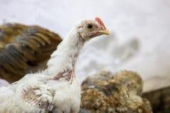 Retrato del pollo fotos de archivo