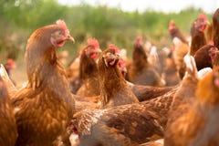 Retrato del pollo en una granja orgánica de las aves de corral libres típicas de la gama Imagen de archivo