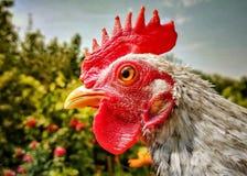 retrato del pollo del país imagen de archivo libre de regalías
