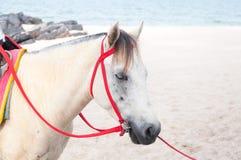 Retrato del potro blanco árabe hermoso del caballo en el fondo del mar Fotos de archivo libres de regalías