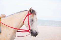 Retrato del potro blanco árabe hermoso del caballo en el fondo del mar Fotografía de archivo libre de regalías