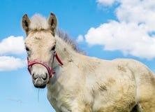 Retrato del potro del caballo del fiordo fotografía de archivo