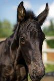 Retrato del potro - caballo frisio Foto de archivo