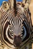 Retrato del potro de la cebra Fotografía de archivo