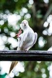 Retrato del primer del Cockatiel Foto de archivo