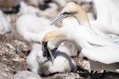 Retrato del primer de dos gannets septentrionales y de acurrucarse, bassanus del morus durante la estación de la jerarquización fotografía de archivo