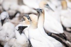 Retrato del primer de dos gannets septentrionales y de acurrucarse, bassanus del morus durante la estación de la jerarquización imagen de archivo libre de regalías