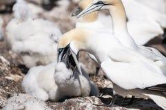 Retrato del primer de dos gannets septentrionales y de acurrucarse, bassanus del morus durante la estación de la jerarquización fotos de archivo