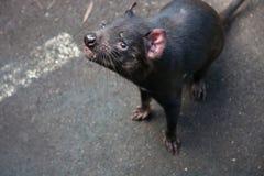 Retrato del primer de la alimentación que espera del harrisii del Sarcophilus del diablo tasmano en el parque zoológico imagen de archivo