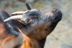 Retrato del primer de la cabra de montaña Fotografía de archivo