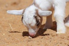 Retrato del primer de la cabra del niño foto de archivo libre de regalías