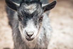 Retrato del primer de la cabra joven Fotos de archivo