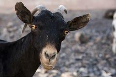 Retrato del primer de la cabra que se coloca en Arta, Djibouti La África del Este Imagen de archivo libre de regalías