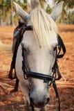 retrato del primer de la cara del caballo blanco Imagenes de archivo