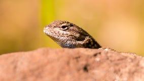 Retrato del primer de la especie del lagarto que mira a escondidas su cabeza hacia fuera sobre una roca en parque de estado de la foto de archivo