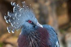 Retrato del primer de la paloma coronada azul fotografía de archivo