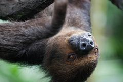 Retrato del primer de la pereza peluda marrón con ojos amarillos y una nariz brillante que parece al revés Parque zoológico de Si fotografía de archivo libre de regalías