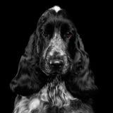 Retrato del primer de la raza de cocker spaniel del inglés del perro en fondo negro aislado Fotos de archivo libres de regalías