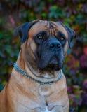 Retrato del primer de la raza rara del perro Boerboel surafricano Imagenes de archivo