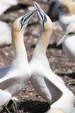 Retrato del primer de la vinculación septentrional de dos gannets, bassanus del morus durante la estación de la jerarquización fotos de archivo
