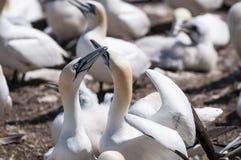 Retrato del primer de la vinculación septentrional de dos gannets, bassanus del morus durante la estación de la jerarquización foto de archivo libre de regalías