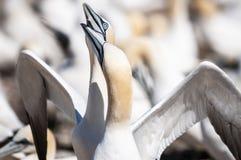 Retrato del primer de la vinculación septentrional de dos gannets, bassanus del morus durante la estación de la jerarquización imágenes de archivo libres de regalías