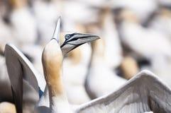 Retrato del primer de la vinculación septentrional de dos gannets, bassanus del morus durante la estación de la jerarquización fotografía de archivo libre de regalías