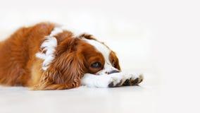 Retrato del primer de rey Charles Spaniel del perro que miente en el piso fotografía de archivo libre de regalías