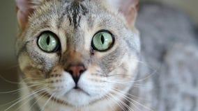 Retrato del primer de un gato criado en línea pura gris hermoso de Bengala con los ojos verdes almacen de metraje de vídeo