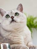Retrato del primer de un gato gris claro lindo con los ojos verdes que miran para arriba su amo Concepto veterinario Foto de archivo libre de regalías