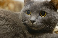 Retrato del primer de un gato gris con los ojos amarillos Foto de archivo libre de regalías