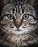 Retrato del primer de un gato lindo que mira derecho la cámara Foto de archivo libre de regalías