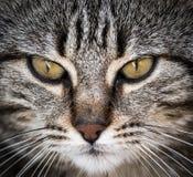 Retrato del primer de un gato lindo que mira derecho la cámara Foto de archivo