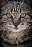 Retrato del primer de un gato lindo que mira derecho la cámara Fotos de archivo libres de regalías